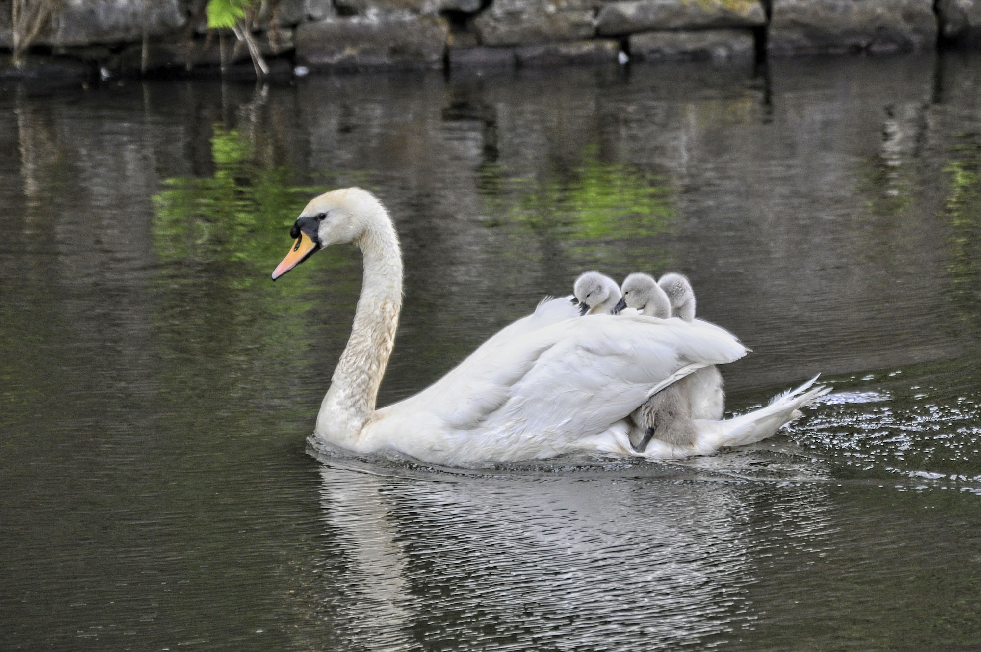 5.-SWANS-AT-THE-EXBURY-EGG-BURNLEY-PHOTOGRAPHER-Stephen-Johnson