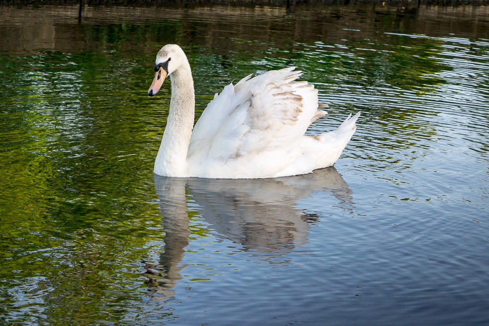 SWANS-AT-THE-EXBURY-EGG-BURNLEY.-PHOTOGRAPHER-ANDREA-HOLT
